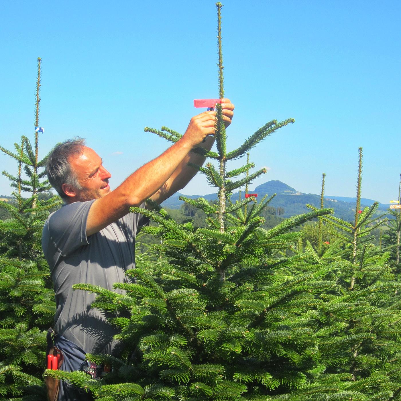 Ein schöner Weihnachtsbaum braucht Pflege
