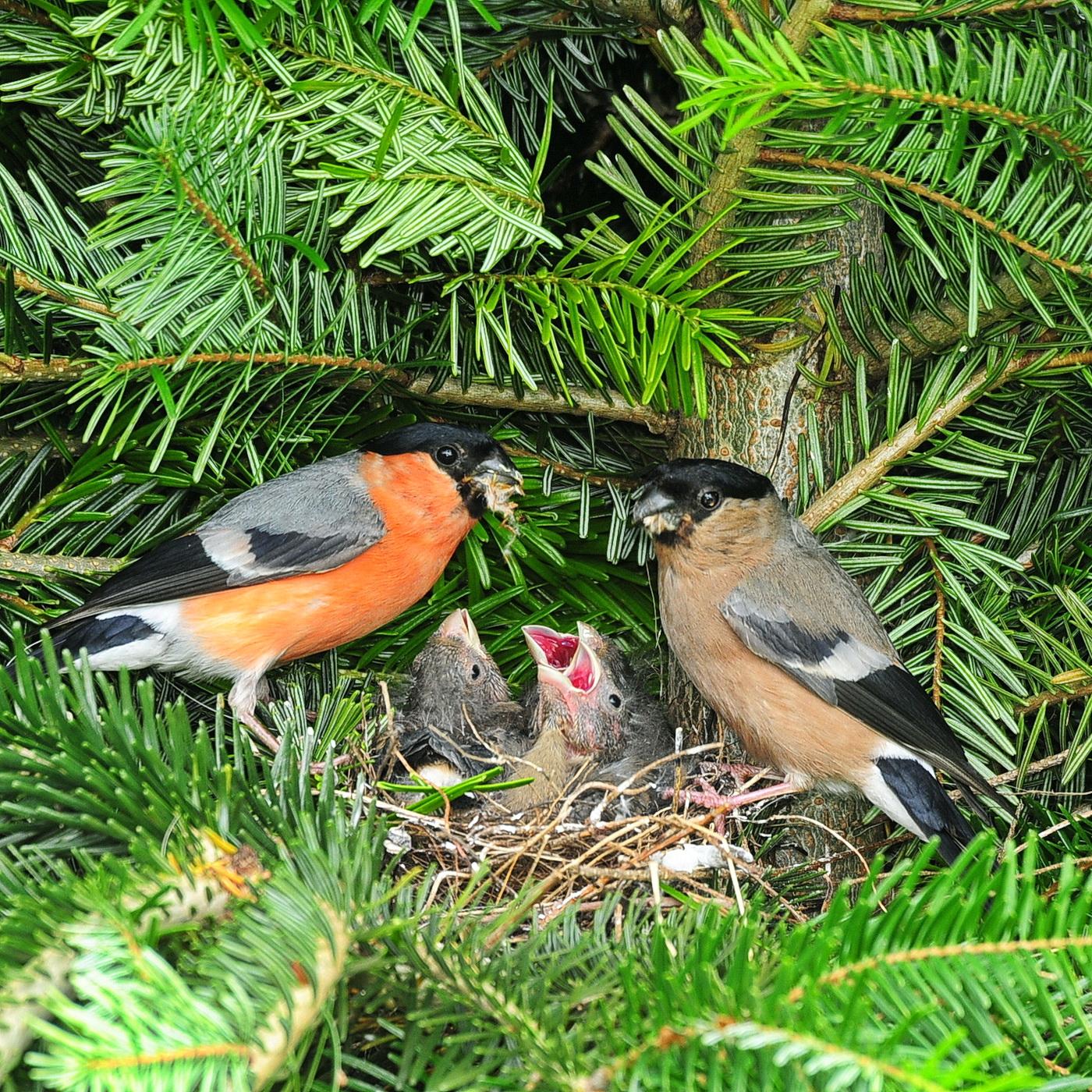 Weihnachtsbaumkultur - ein Paradies für Singvögel!