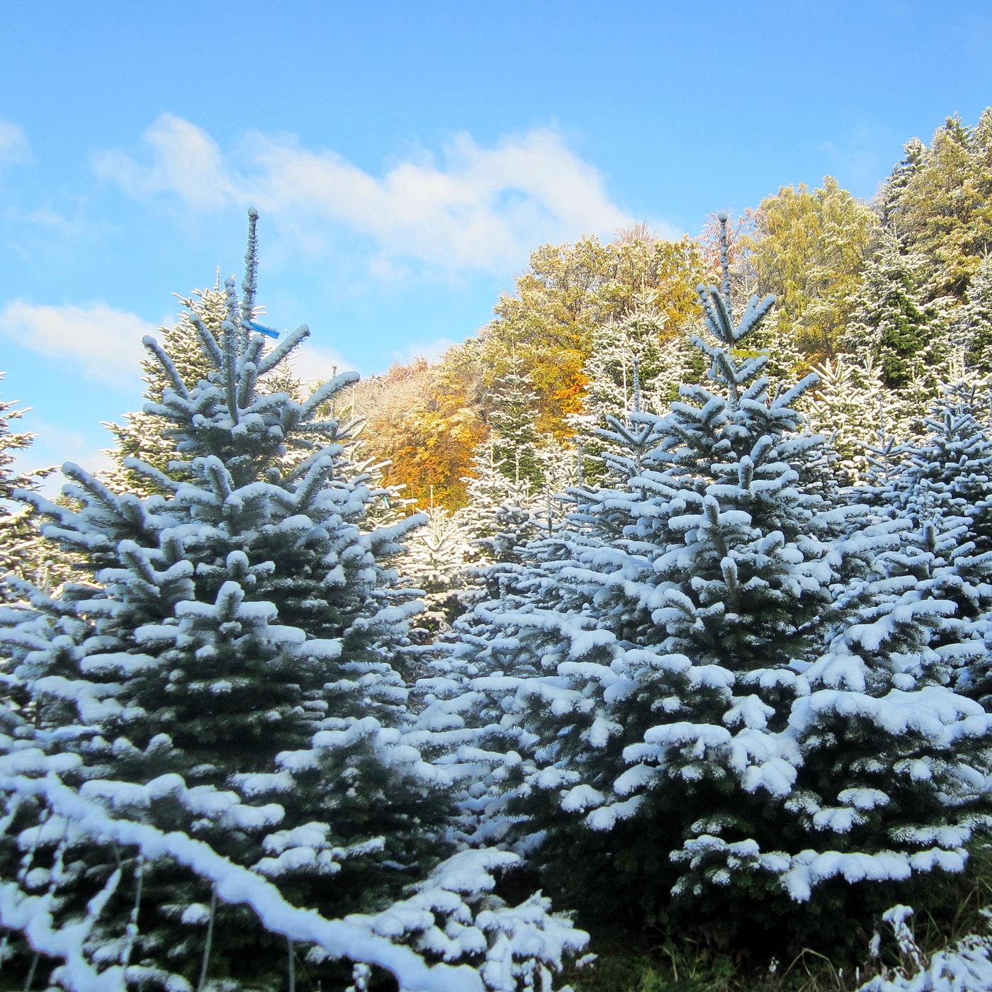 Aus meiner Region - ein Weihnachtsbaum von hier